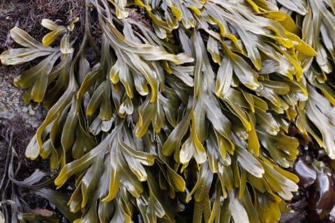 Jūros dumbliai – saugus ir efektyvus pasirinkimas esant refliukso ligai